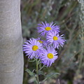 Aspen Asters  by Michael Shaft