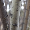 Aspen Bark Detail by Brent Baum