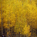 Aspen Fall 2 by Marty Koch