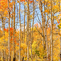 Aspen Fall Foliage Vertical Image by James BO Insogna