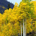 Aspen Fall by Marty Koch