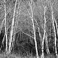 Aspen Forest Black And White Print by James BO  Insogna