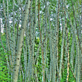 Aspen Forest by Linda Weyers