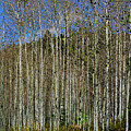Aspen Forest by Tikvah's Hope