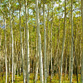 Aspen Forrest by Allison Jones