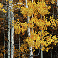 Aspen Gold by Dustin LeFevre