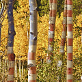 Aspen Gold Red White And Blue by James BO  Insogna