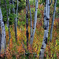 Aspen In Fall by Marty Koch