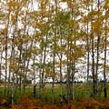 Aspen In Fall by Robert Bissett