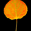 Aspen Leaf by Marilyn Hunt