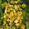 Aspen Leaves by D Nigon