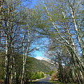 Aspen Lined Road by Christiane Schulze Art And Photography