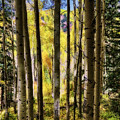 Aspen Mood - Autumn - Colorful Colorado by Jason Politte