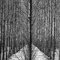 Aspen Rows by Paul Freidlund