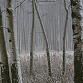 Aspen Stand In A Snowstorm by Raymond Gehman
