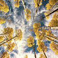 Aspen Tops Towards The Sky Vintage  by Saija Lehtonen
