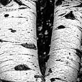 Aspen Tree Art by David Millenheft