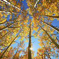 Aspen Tree Canopy 2 by Ron Dahlquist - Printscapes