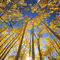 Aspen Tree Canopy 3 by Ron Dahlquist - Printscapes