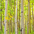 Aspen Tree Forest Autumn Time Portrait by James BO Insogna