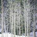 Aspen Trees by Bruce Lonngren
