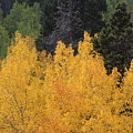 Aspen Trees In Full Bloom by Mary L Farley-White