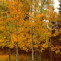 Aspen Trees With Autumn Leaves  by Chantel Schieffer