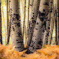 Aspen Trees With Ferns by John Brink