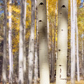Aspen Trunks by Susan Westervelt