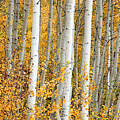 Aspen With Fall Color by Dori Peers