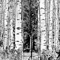 Aspens And The Pine Black And White Fine Art Print by James BO Insogna