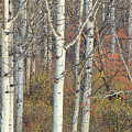 Aspens At Dusk by Darrel Giesbrecht