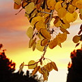 Aspens At Sunset by Diane Zucker