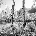 Aspens Black And White by Caroline Clark