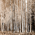 Aspens by Heather S Huston