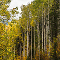 Aspens In Autumn by Yeates Photography