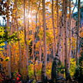 Aspens In Fall Color by Jerome Obille