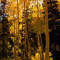 Aspens In Fall by David Lee Thompson