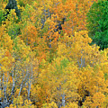 Aspens In Fall Eastern Sierras California by Dave Welling