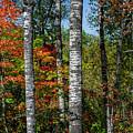 Aspens In Fall Forest by Elena Elisseeva
