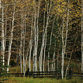 Aspens In The Fall by Timothy Johnson