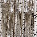 Aspens In Winter Panorama - Colorado by Brian Harig
