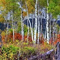 Aspens Meet Autumn by Michael Morse