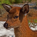 Assateague Island Sika Deer Fawn by Assateague Pony Photography