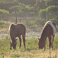 Assateague Island Wild Ponies by Stephanie McDowell
