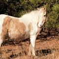 Assateague Pony Mare by Kristia Adams