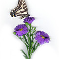 Aster And Butterfly by Sandi F Hutchins