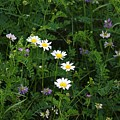 Aster And Daisies by Judy Carr