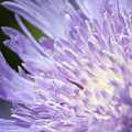 Aster Bloom by Jeannie Burleson