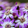 Aster Delights by Vanessa Thomas